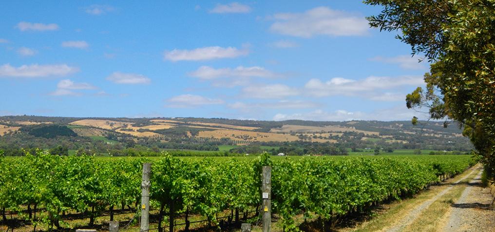 McClaren Vale vineyard