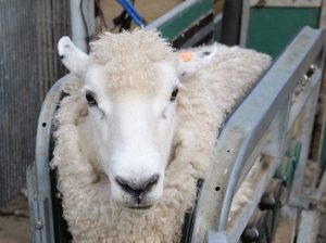 Sheep being hold with two metal plates