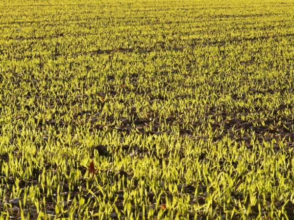 Winter-barley