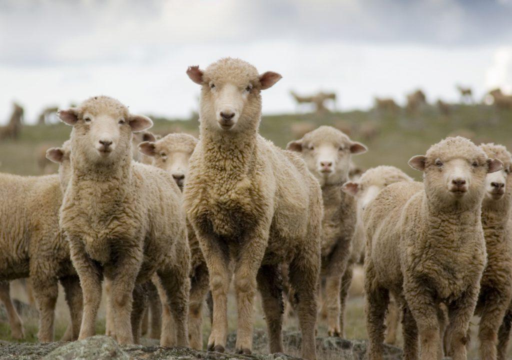 National Sheep Health Monitoring Project