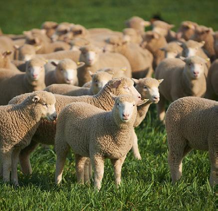 Lamb definition changes