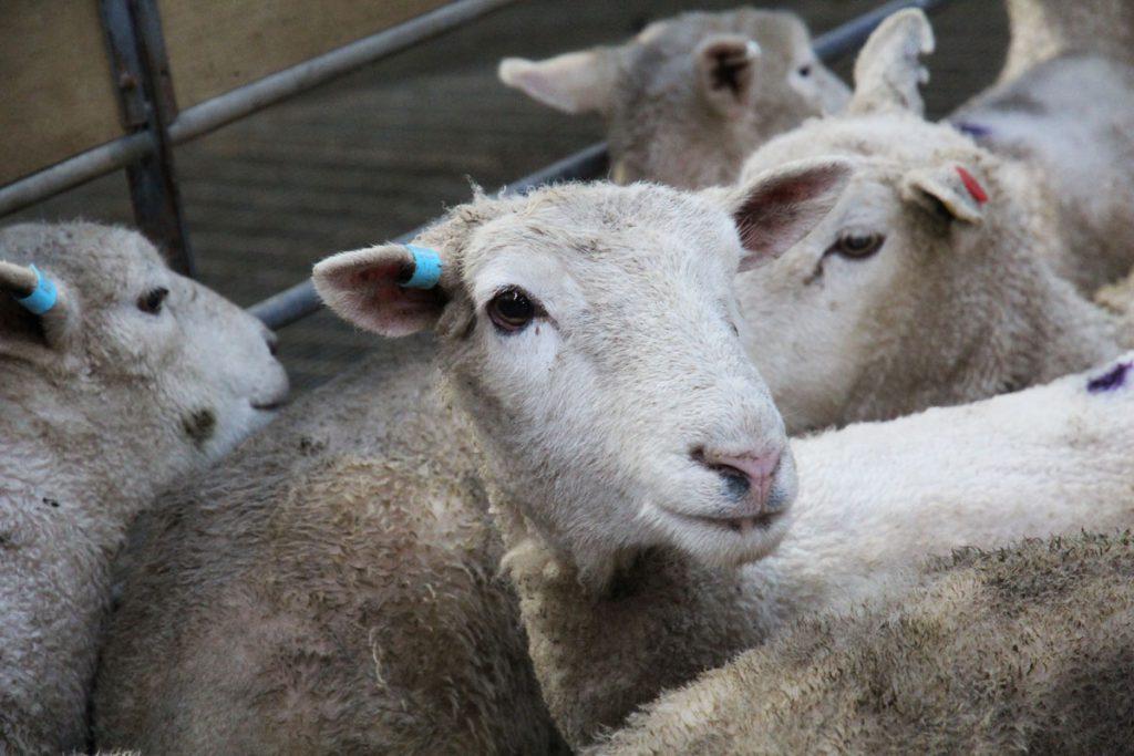 Sheep in a huddle of more sheep looking at camera