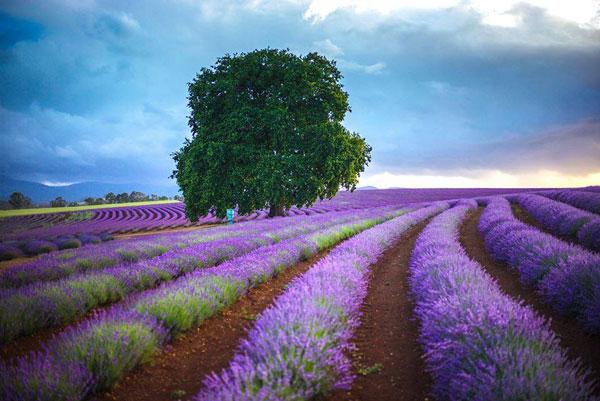 Bridestowe-Lavender-Farm