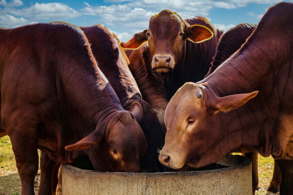 Droughmaster cattle