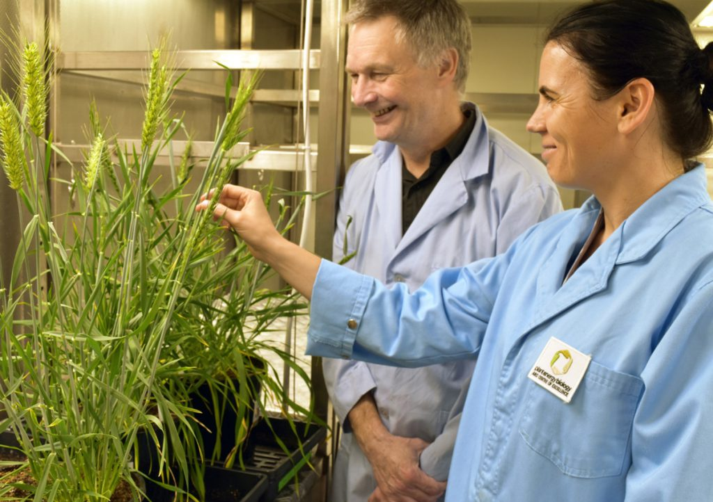 UWA researchers Professor Ian Small (left) and Dr. Joanna Melonek (right) with wheat plants