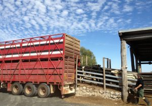 livestock ramps and forcing yards